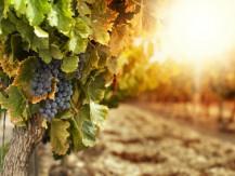 Vin en canette.Gamme de vins français premium en canettes. - image 5